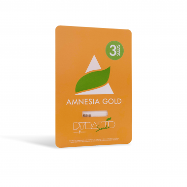 Feminized seeds of Amnesia Gold pyramid seeds